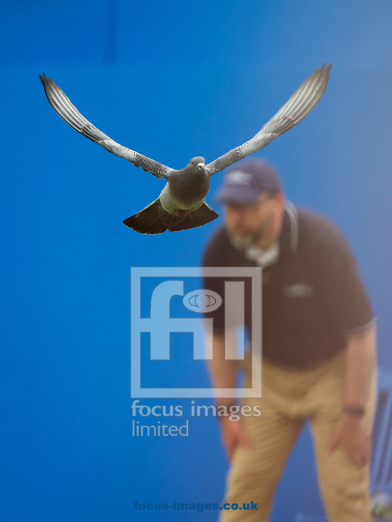 A pigeon disrupts play on day four of the Aegon Championships 2017 held at The Queen's Club, Kensington, UK.<br /> Picture by Alan Stanford/Focus Images Ltd +44 7915 056117<br /> 22/06/2017