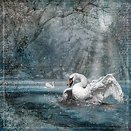 Surging swan in an icy blue winter landscape