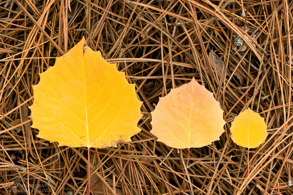 Quaking aspen leaves on a bed of pine needles near Seboeis Lake.  Near Millinocket, Maine.