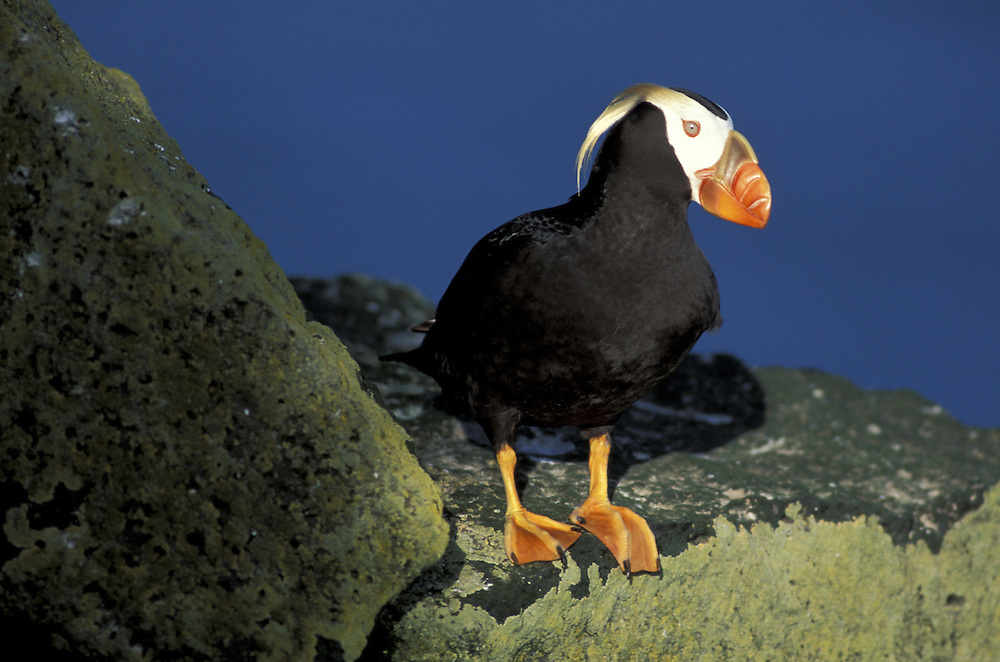 Tufted Puffin.St.Paul Island.Pribilhof Islands.Alaska.USA