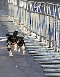 © Licensed to London News Pictures. 03/12/2019. London, UK. A Police sniffer dog enthusiastically sprints around Parliament Square and Whitehall sniffing for explosive as Police close roads ahead of the NATO Summit. President Donald Trump arrived in London last night along with 29 World leaders for the NATO summit in Watford. Photo credit: Alex Lentati/LNP
