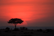 An acacia tree in the Masai Mara silhouetted by the setting sun.