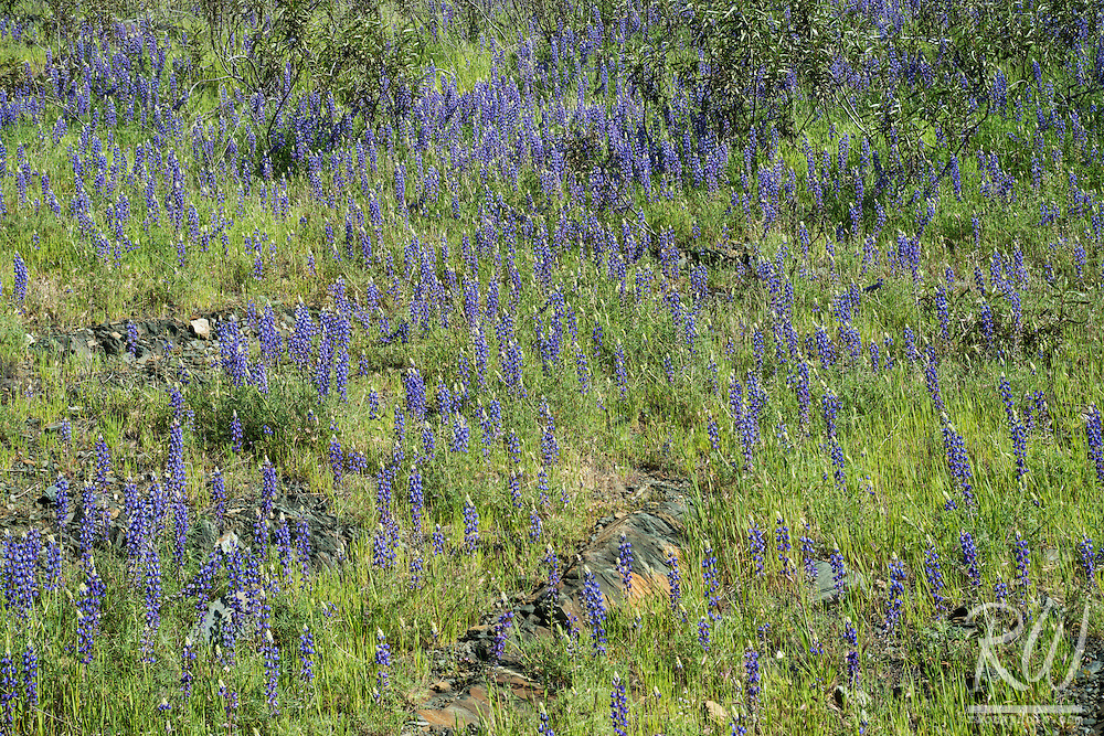 Lupine Spring Wildflowers, Tuolumne County, California