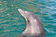 Israel, Eilat, Dolphin Reef Beach, Common Bottlenose Dolphin (Tursiops truncatus)