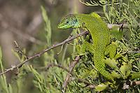 Male Emerald lizard (Lacerta bilineata) warming up, San Marino.