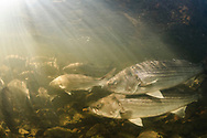 Striped Bass<br />