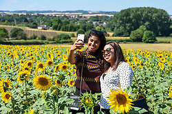 © Licensed to London News Pictures. 24/07/2018. ICKLEFORD, UK.  Jashvina Anbarasan (L) and Aisyah Muhammad (R), both 23, graduate students from London, take a selfie at Hitchin Lavender farm amongst sunflowers during the continuing heatwave.  Currently in full bloom, the lavender and colourful sunflowers attract visitors from far and wide to this popular family run farm. Photo credit: Stephen Chung/LNP