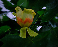 Tulip Tree flowers. Image taken with a Fuji X-T3 camera and 80 mm f/2.8 OIS macro lens