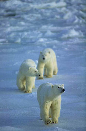 Polar Bear, (Ursus maritimus) Mother and cubs waiting for ice to freeze on Hudson Bay. Churchill, Manitoba. Canada.