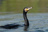 Great Cormorant (Phalacrocorax Carbo), Fisher pond, Prypiat area, Belarus
