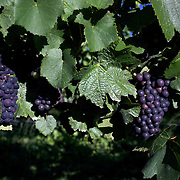 Pinot Noir grapes on the vine in the Marlborough Wine Region, Blenheim, on the South Island of New Zealand..New Zealand's largest wine producer, the Marlborough wine region has earned a global reputation for viticultural excellence since the 1970s. It has an enviable international reputation for producing the best Sauvignon Blanc in the world. It also makes very good Chardonnay and Riesling and is fast developing a reputation for high quality Pinot Noir. Of the region's ten thousand hectares of grapes (almost half the national crop) one third are planted in Sauvignon Blanc. ..Free draining soils and warm growing conditions mean the South Island region is perfectly suited to wine production. Producing a full range of wine varieties, Marlborough turns out arguably the best Sauvignon Blanc in the world. Most Marlborough vineyards are found around the main centre of Blenheim,  with dry mountains rising up behind, Marlborough, New Zealand, 8th February 2011. Photo Tim Clayton.