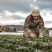 Reportage, Salatpflücker, Ackersalat, Firma Glaser, Radolfszell