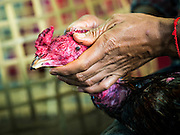 11 JANUARY 2014 - BANGKOK, THAILAND:    A detail photo of a fighting cock having its eye worked on after a cockfight in Bangkok. Cockfighting dates back over 3,000 years and is still popular in many countries throughout the world today, including Thailand. Cockfighting is legal in Thailand. Unlike some countries, Thai cockfighting does not use artificial spurs to increase injury and does not employ the 'fight to the death rule'. Thai birds live to fight another day and are retired after two years of competing. Cockfighting is enjoyed by over 200,000 people in Thailand each weekend at over 75 licensed venues. Fighting cocks live for about 10 years and only fight for 2nd and 3rd years of their lives. Most have only four fights per year. Most times the winner is based on which rooster stops fighting or tires first rather than which is the most severely injured. Although gambling is illegal in Thailand, many times fight promoters are able to get an exemption to the gambling laws and a lot of money is wagered on the fights.    PHOTO BY JACK KURTZ