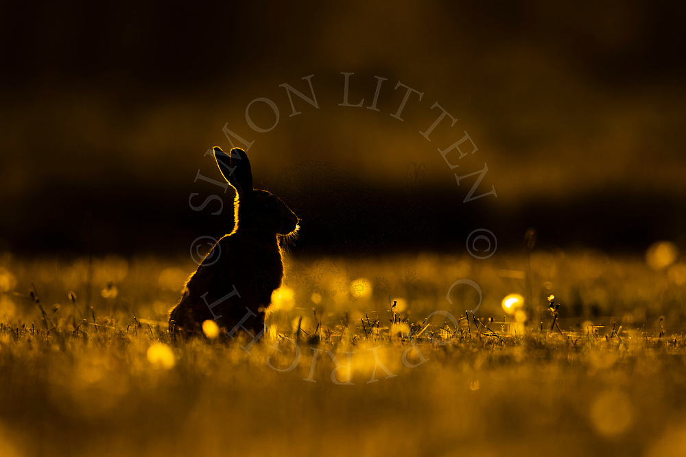 European Hare (Lepus europaeus) adult silhouetted in a dandilion patch at dusk, South Norfolk, UK. May.