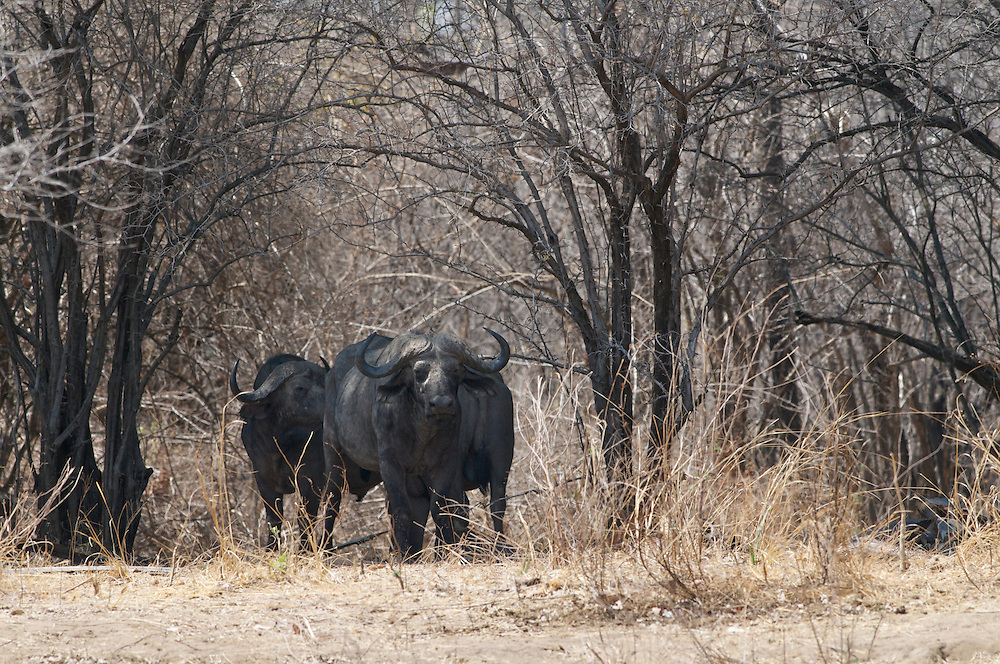 African buffalo in the dry brush.