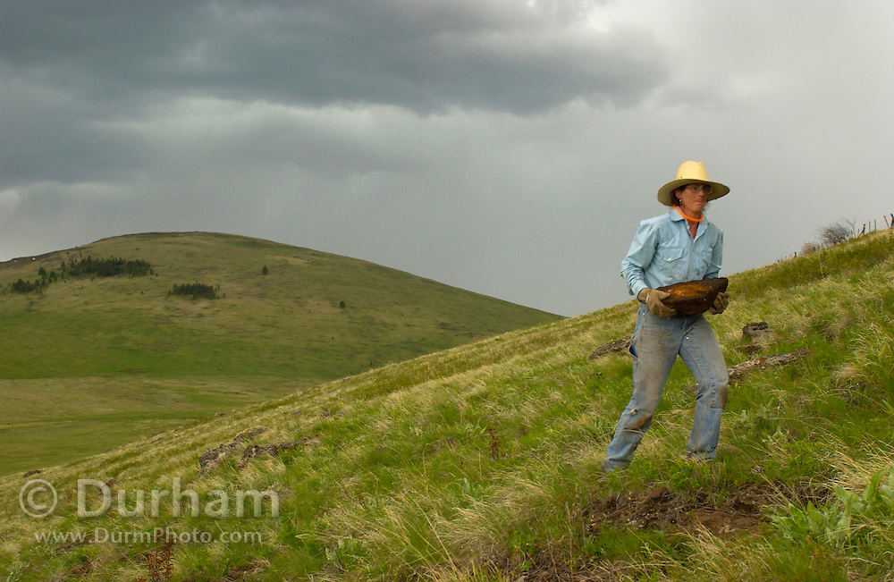 Andi Mitchell, Preserve Steward for The Nature Conservancy's Zumwalt Prairie Preserve, moves a rock to repair a fence line in preparation to open the grassland to cattle grazing. Zumwalt Praire is the largest and highest quality bunchgrass prairie left in North America. Most bunchgrass prairies have been converted to agriculture.