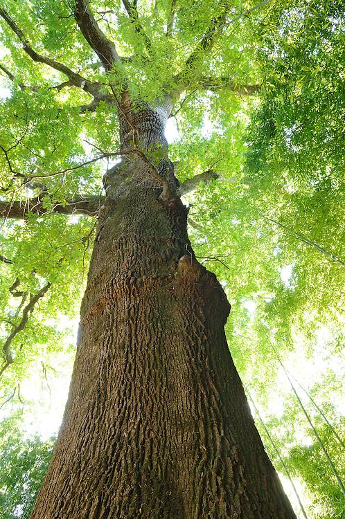 France, Languedoc Roussillon, Gard, Cevennes, Anduze, Prafrance, La Bambouseraie, arbre, Quercus robur, arbre remarquable
