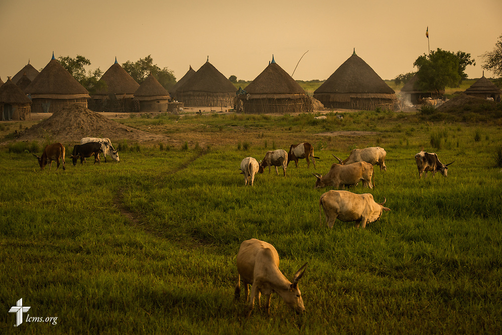 Animals graze Wednesday, Sept. 23, 2015, outside the Leitchour Refugee Camp outside Gambela, Ethiopia. LCMS Communications/Erik M. Lunsford