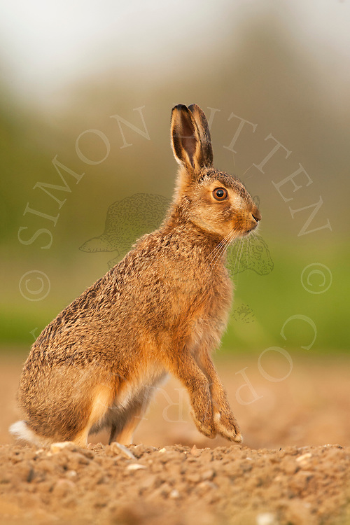 European Hare (Lepus europaeus) juvenile alert in ploughed field, Norfolk, UK.