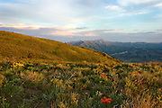 Idaho. Pocatello east bench view of Scout Mt with wildflowers (Indian Paintbrush) at sunset
