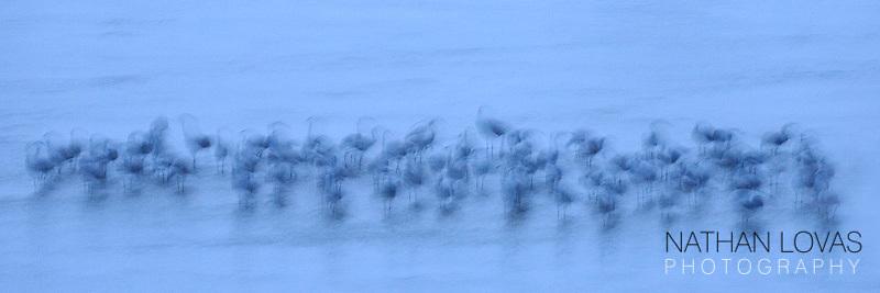Sandhill cranes wading in twilgiht;  Nebraska.