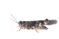 IFTE-NB-007849; Niall Benvie; Oedipoda germanica; grasshopper; Europe; Austria; Tirol; Fliesser Sonnenhänge; insect arthropod invertebrate; horizontal; high key; grey white; controlled; male; adult; one; moorland; 2008; July; summer; strobe backlight; Wild Wonders of Europe Naturpark Kaunergrat
