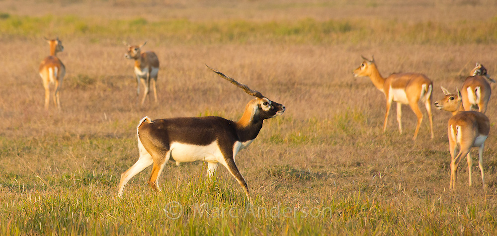 Black Buck antelope in the Black Buck Conservation Area, Khairapur, near Gulariya, Nepal