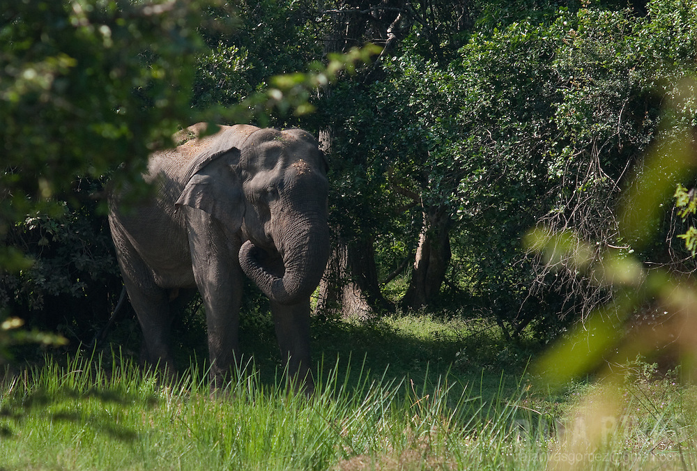 An elephant eats grass in Yala National Park, Sri Lanka, on February 2011. Photo Rafa Rivas