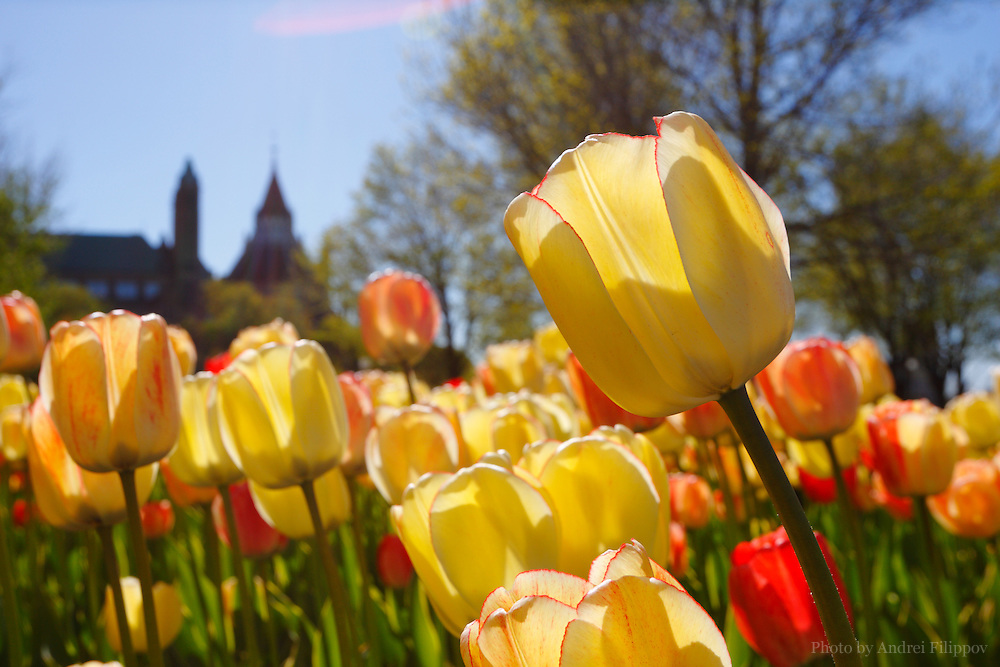 Tulips in Major Hills Park in Ottawa, ON, Canada on April 29, 2010. Tulip Festival is an Annual Event in Ottawa, the National Capital of Canada. It commemorates asylum offered by Canada to the Royal Dutch family during World War II.