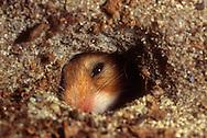 Deutschland, DEU, Cuxhaven: Goldhamster (Mesocricetus auratus) schaut durch ein Loch in seinem unterirdischen Bau. | Germany, DEU, Cuxhaven: Golden Hamster (Mesocricetus auratus) looking through a hole in its subterranean burrow. |
