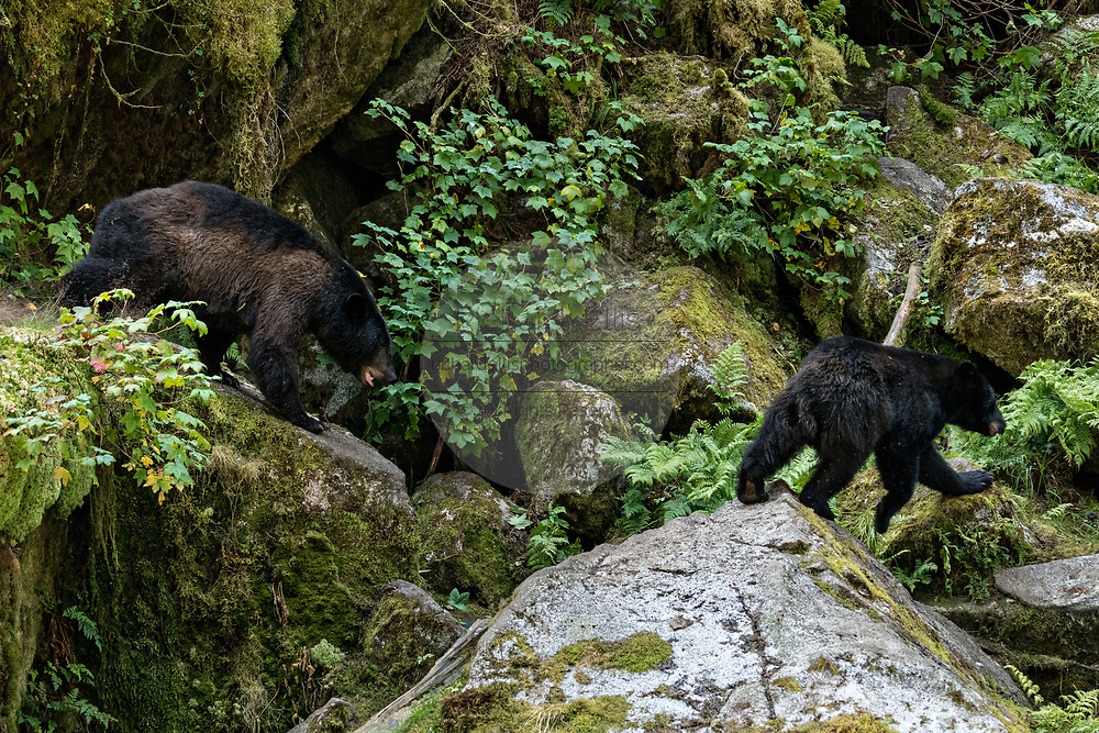 A large adult American black bear sow chases an intruder bear over a rock outcropping at Anan Creek in the Tongass National Forest, Alaska. Anan Creek is one of the most prolific salmon runs in Alaska and dozens of black and brown bears gather yearly to feast on the spawning salmon.