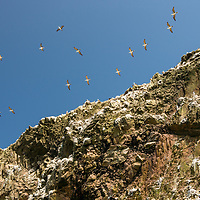 Peruvian boobies fly over and nest alongside the dramatic rock formations of the Islas Ballestas National Reserve. The islands were home to a guano collection facility and now are a tourist destination to see large colonies of birds and sea lions near Paracas, Peru.