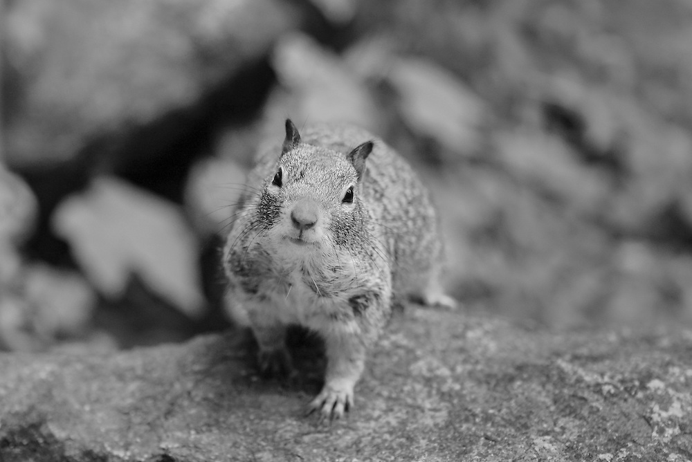 Curious Squirrel - Vernal Falls Trail - Yosemite - Black & White