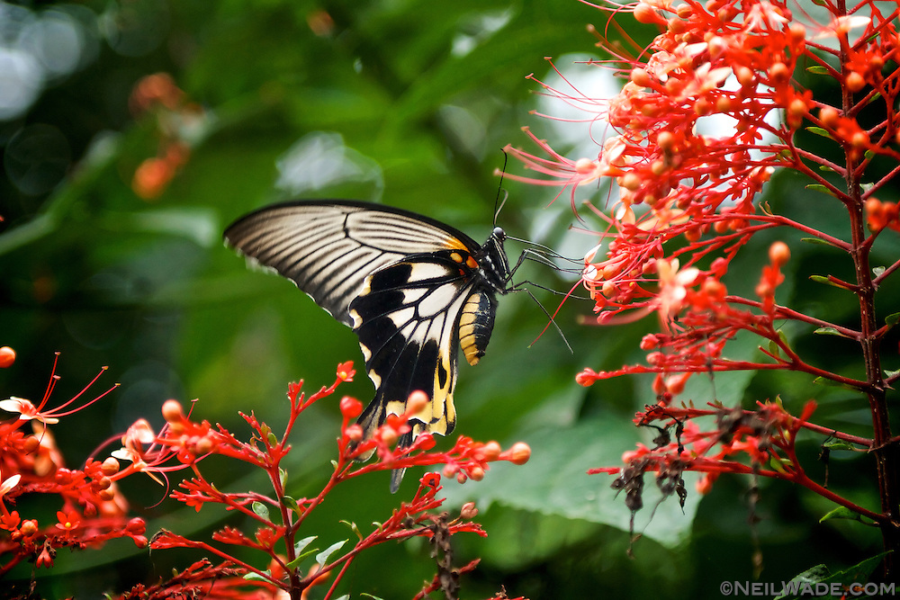 This photo really doesn't fit in with the other travel images from Indonesia, but it is the best butterfly photo I ever shot!  :)