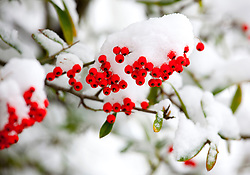 © Licensed to London News Pictures. 21/01/2013. Atherstone, North Warwickshire, UK. Snow freezing on the trees and canals around Atherstone in North Warwickshire. Pictured, berries covered in snow on lanes near Atherstone. Photo credit : Dave Warren/LNP