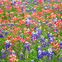 Wildflower display of bluebonnets and paintbrush. Llano, Texas