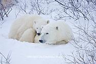 01874-11611 Polar Bears (Ursus maritimus) female and cub, Churchill Wildlife Management Area,  MB