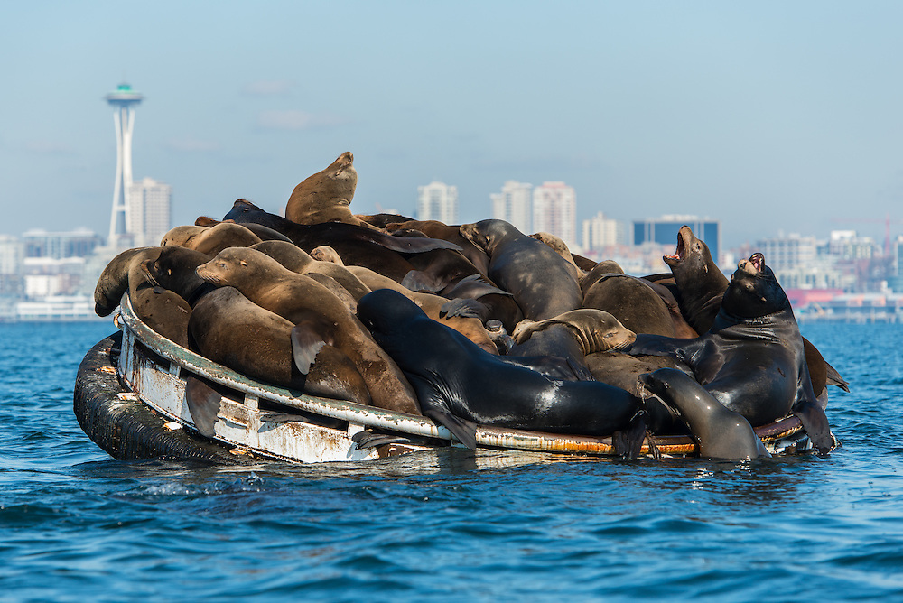 California Sea Lions (Zalophus californianus) in Elliot Bay,  Seattle, Washington. Photo by William Drumm.