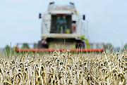 Nederland, Millingen, 7-8-2017 Een veld met tarwe, graan wordt door een combine geoogst. Tarweveld, graanveld. Foto: Flip Franssen