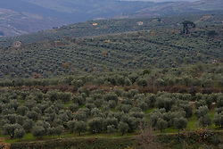 Basilicata, Italy - Olive grove in the area of the Vulture.