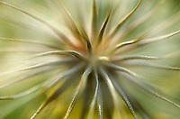 Dispersion. Macro view of a salsify seedhead, Evergreen, CO.