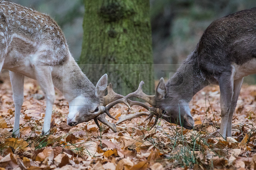 © Licensed to London News Pictures. 21/12/2016. London, UK. Two young deer practice their rutting mind woodlands in Richmond Park on winter solstice, the shortest day of the year. Photo credit: Rob Pinney/LNP