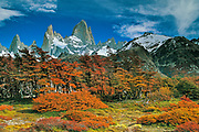 Beech trees with autumn leaves, under Monte FitzRoy, Chalten, Los Glaciares National Park, Patagonia, Argentina