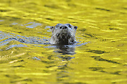 River otter in Vermilion River in Northern Ontario, Canada.