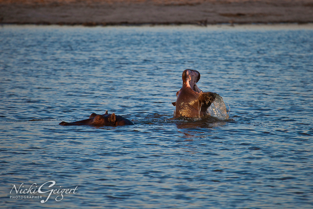 Animals, hippo in water.<br /> MG7149