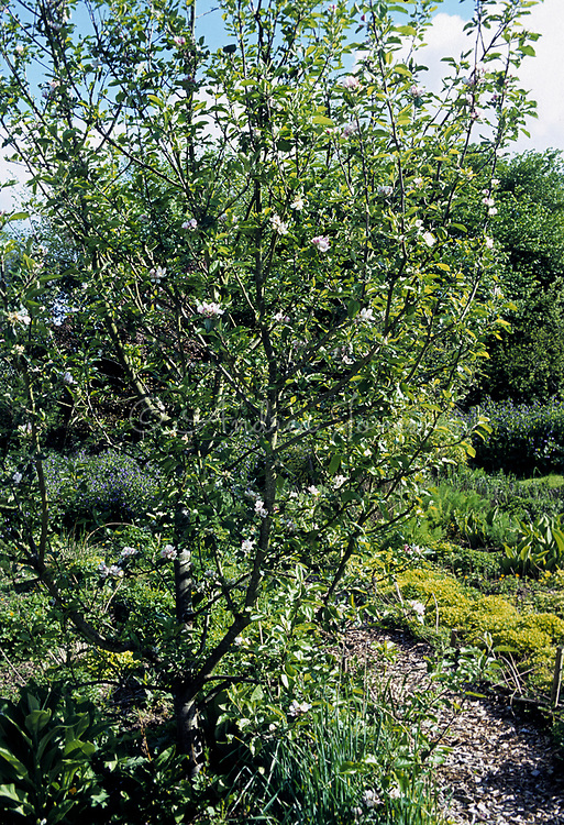 Flowering Apple tree in organic vegetable & herb garden. Chipped bark mulch pathway with beds of herbs ready for picking. Penrhos Court, Herefordshire, home of Daphne Lambert & Green Cuisine.
