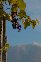 Ripe red grapes against snow peaked mountains in Ticino, Southern Switzerland.
