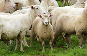 Flock of sheep on a farm  near Waiuku on North Island  in New Zealand