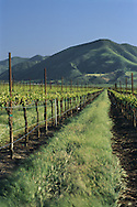 Vineyards in spring below the Sierra de Salinas, near Soledad, Monterey County, California