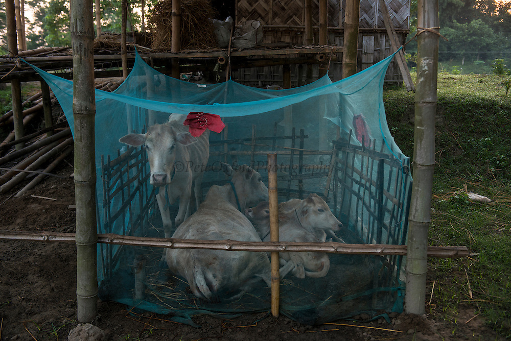 Cattle under mosquito nets for protection again malaria<br /> Mising Tribe (Mishing or Miri Tribe)<br /> Majuli Island, Brahmaputra River<br /> Largest river island in India<br /> Assam,  ne India